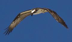 Osprey by swtaylor