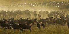 Wildebeest migration - Masai Mara - Kenya_S4E7037 by Francesco Veronesi