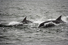 Bottlenose dolphins by tom hartley