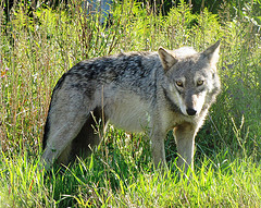 Female Gray Wolf by Seney Natural History Association