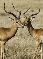 Impala by Jay Aremac