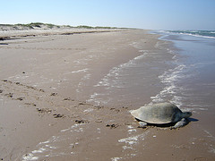 Kemp's Ridley, Padre Island NS, TX by NPCA Photos