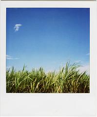 blue sky, sugarcane field by masaaki miyara