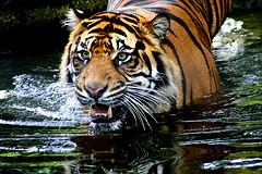Sumatran Tiger, by Brimac The 2nd