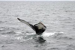 Humpback Whale Fluke, by rubonix